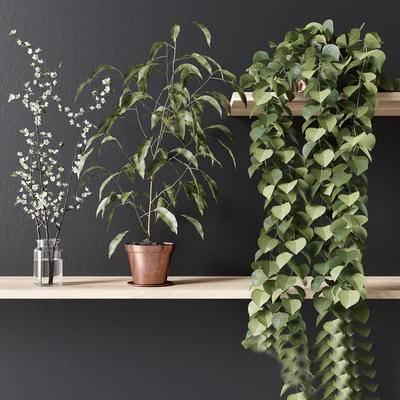 绿萝, 现代, 盆栽, 蔓藤植物