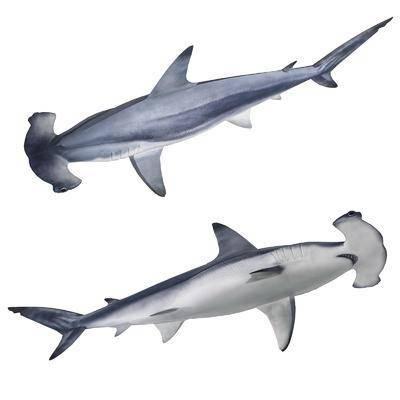 现代双髻鲨锤头鲨鲨鱼标本