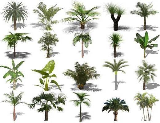 树木, 景观树组合, 棕榈树