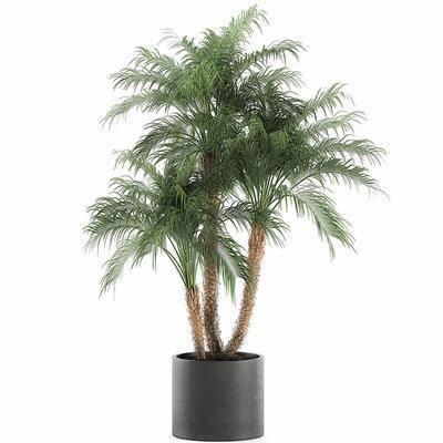 现代植物盆栽棕榈树