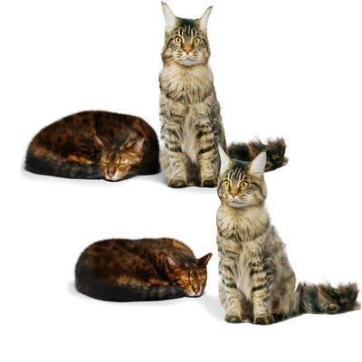 动物, 猫, 宠物, 睡觉, 站立, 美国, 短尾