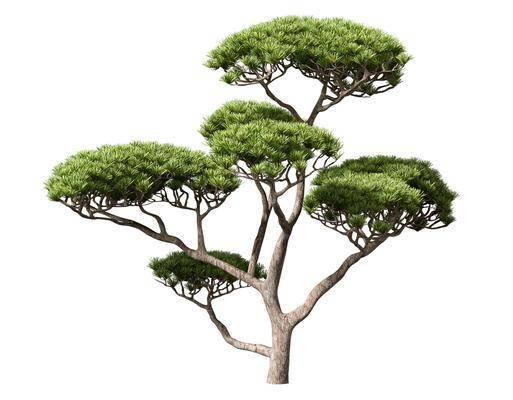 中式, 迎客松, 植物, 樹木, 單體