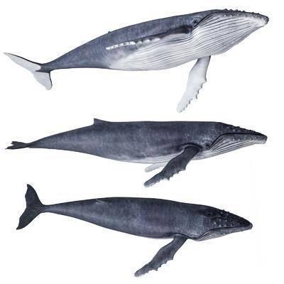 现代座头鲸抹香鲸鲸鱼标本