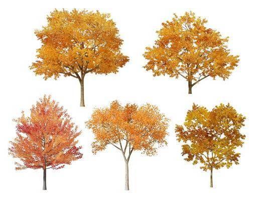 現代, 黃葉樹, 樹木, 單體