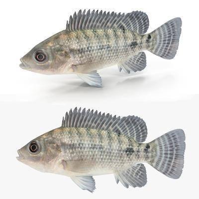 罗非鱼, 水生动物, 现代