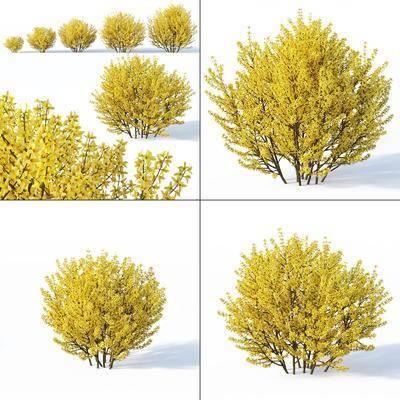 灌木植物, 金钟花, 现代