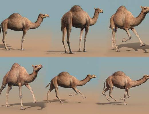 骆驼, 现代