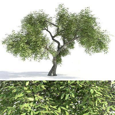 現代植物樹木, 老樹, 古樹