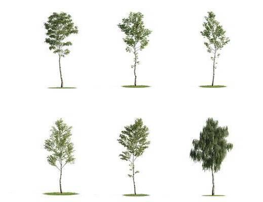 白桦, 树木, 植物