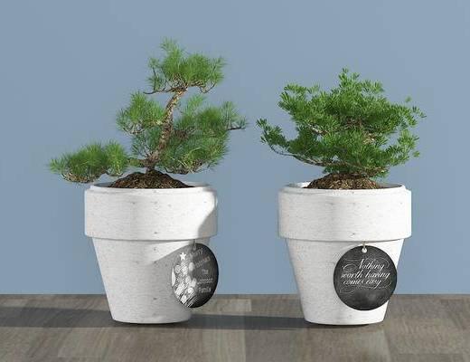 现代松树, 盆栽, 植物, 绿植
