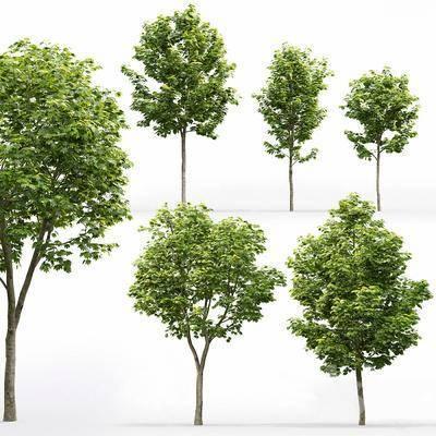 現代植物樹木, 槭樹, 楓樹