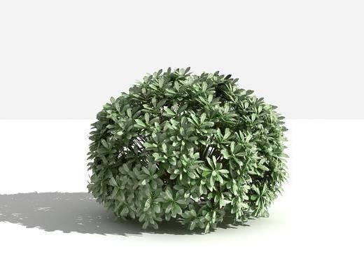 海桐球, 灌木, 绿植植物, 现代