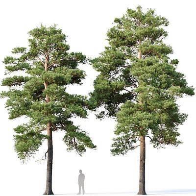 树木, 松树, 植物