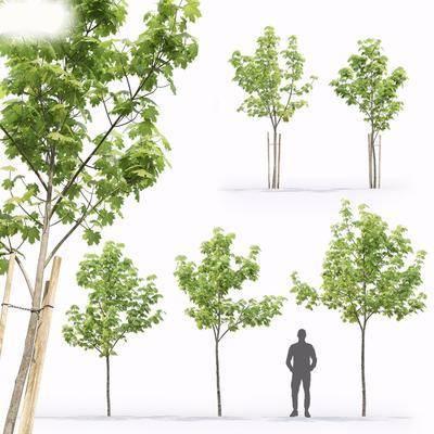 現代, 楓樹, 樹苗, 植物