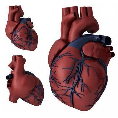 心脏模型, 心脏